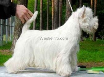 Higgins White Oleander