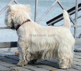 Brait Nouz Show Must Go for Vivat Terrier