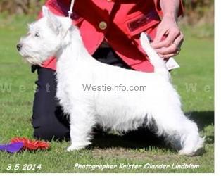 Highland Crest White Hot Lion